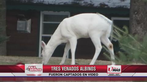 Tres venados albinos captados en video