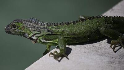 La iguana verde, una especie fuera de control en el sur de Florida
