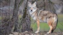 Capturan a un coyote en Rogers Park: esto es lo que debes saber si ves a uno en la calle