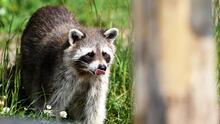 Alerta para los dueños de mascotas: hay un mapache con rabia en el sur de Florida