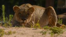Los cuatro leones del zoológico de Barcelona dan positivo al coronavirus