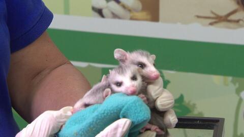Autoridades de Houston rescatan a 200 animales salvajes tras las inundaciones