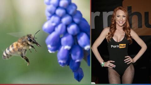 Pornografía y Abejas: PornHub crea esfuerzos para evitar la extinción de los insectos
