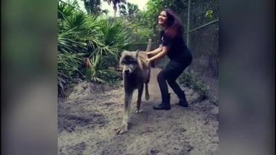 'Yuki' el inmenso perro lobo de Florida padece una enfermedad terminal