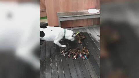 El videíto: el curioso primer encuentro de un perro con una langosta