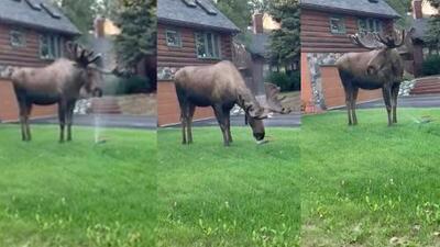 (Video) Alce se refresca con los 'sprinklers' de un jardín en Alaska
