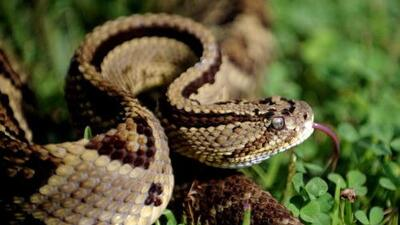 Texan wrangles up 45 rattlers living underneath home