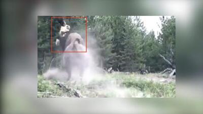 En video: un bisonte ataca a una niña de Florida y sale volando dentro de un parque nacional