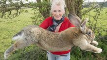 Se roban del patio de su casa al viejo Darius, el conejo más grande del mundo según el libro de récords Guinness