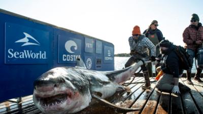 Esta semana vieron a este tiburón de más de 2,000 libras y 15 pies en los cayos de Florida
