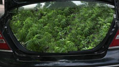 Intenta cruzar la frontera con el carro repleto de matas de marihuana a plena vista