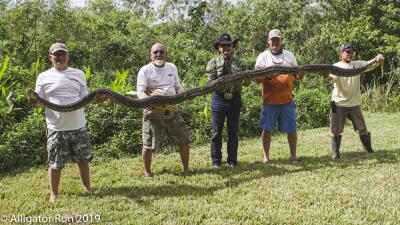 Más de 1000 personas aplican para cazar pitones en Florida
