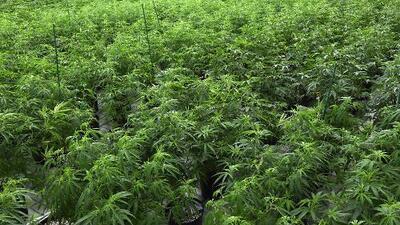 Aprueban en el Senado de Illinois la ley de marihuana que legalizaría su uso recreativo