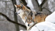 En fotos: Chicago tiene dos nuevos residentes. Llegan dos lobos mexicanos al Brookfield Zoo