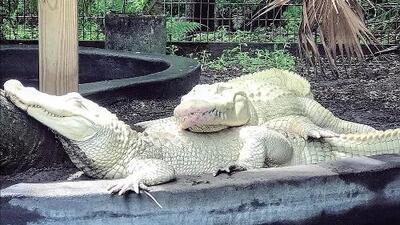 Rara pareja de cocodrilos albinos serán padres después de tener 18 huevos en Florida