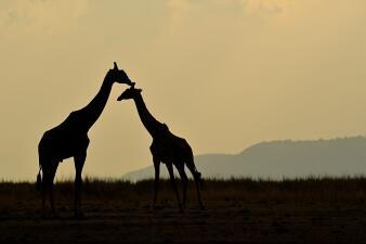 La razón por la que las jirafas no bostezan y otras curiosidades del animal más alto del mundo