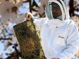 A toda máquina trabajan millones de abejas en huertos de California traídas desde todo el país