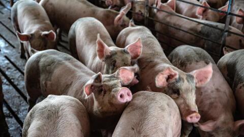 Muchos siguen buscando y escogiendo su cerdo para esta Nochebuena