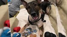 Fueron los mismos oficiales: la verdad sobre Arlo, el perro policía que fue herido tras persecución