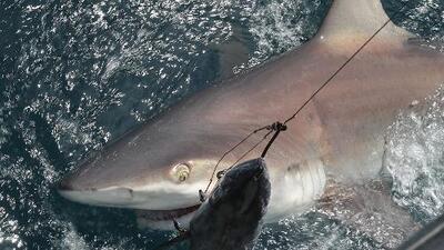 Esta playa de Florida es considerada como la capital mundial de los ataques de tiburones