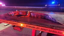 Conductor arrolla a un caimán de 10 pies de largo y lo arrastra por casi una milla