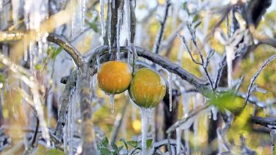 La ola de frío se movió al sureste del país y congeló las siembras de naranja en Florida