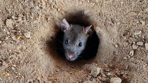 Con hielo seco, así quieren exterminar ratas en 10 edificios de vivienda pública en Nueva York