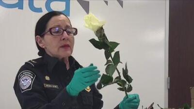 Esta es la inspección que deben pasar la flores que planeas regalar en el Día de San Valentín