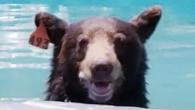 Un oso no se resiste a la tentación de una piscina y desata el pánico en un vecindario de Los Ángeles