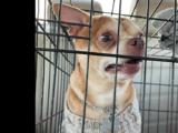 El anuncio de adopción de un chihuahua neurótico de Nueva Jersey que se volvió viral