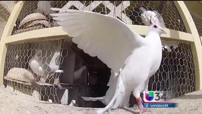Tradición de las palomas mensajeras sigue viva