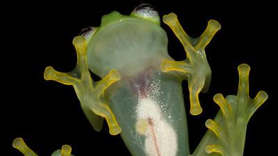 Seres asombrosos: las ranas de vidrio