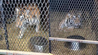 Encuentran un tigre en una casa al sureste de Houston