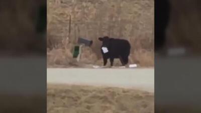 El vídeito: El delicioso almuerzo de esta vaca fue el correo postal de su dueño