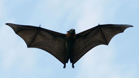 Autoridades piden extremar precauciones tras el hallazgo de un murciélago infectado de rabia en Texas