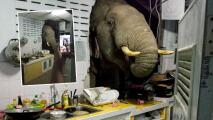 Elefante rompe pared de una cocina buscando comida
