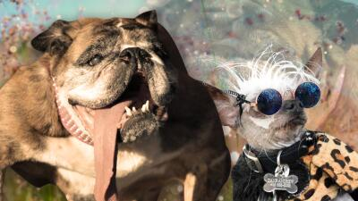 Muere el perro más feo del mundo y (al parecer) ya hay sucesor