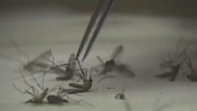 Usar repelente de mosquitos y no dejar puertas abiertas, las claves para evitar la picadura de un mosquito infectado con el Virus del Nilo Occidental