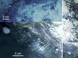 Encuentran animales nunca antes vistos en el hielo submarino de la Antártida
