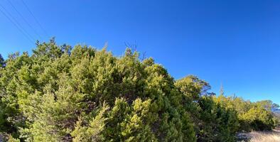 San Antonio registra altos niveles del polen de cedro este viernes