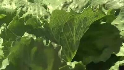 Piden evitar consumir lechuga romana debido a E. coli