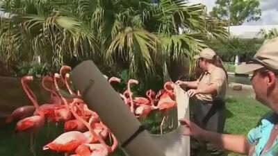Trasladan flamencos del Zoológico de Miami a un lugar más seguro