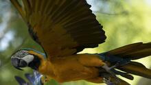 Julieta, la última guacamaya salvaje de Río de Janeiro, busca pareja