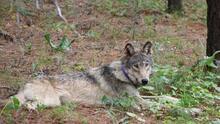 Un lobo gris es visto en la zona de Yosemite por primera vez en más de 100 años