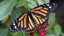 Bakersfield se prepara convertirse en refugio para las mariposas monarca