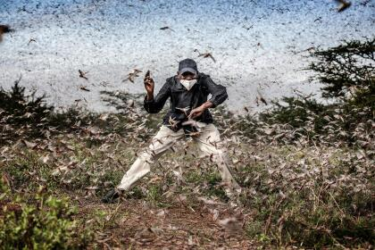 """Herny Lenayasa, a Samburu man and chief of the settlement of Archers Post tries to scare away a massive swarm of locust ravaging an area next to Archers Post, Samburu County, Kenya on April 24, 2020. A locust plague fueled by unpredictable weather patterns up to 20 times larger than a wave two months earlier is threatening to devastate parts of East Africa. Locust has made already a devastating appearance in Kenya, two months aftervoracious swarms -some billions strong- ravaged big areas of land and just as the coronavirus outbreak has begun to disrupt livelihoods. In spite of coronavirus-related travel restrictions, international experts are in place to support efforts to eradicate the pest with measures including ground and aerial spraying. The Covid-19 pandemic has competed for funding, hampered movement and delayed the import of some inputs, including insecticides and pesticides. The UN Food and Agriculture Organisation (FAO) has called the locust outbreak, caused in part by climate change, """"an unprecedented threat"""" to food security and livelihoods. Its officials have called this new wave some 20 times the size of the first. Photo: Luis Tato for The Washington Post"""