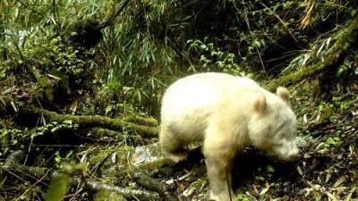 Esta imagen no se había visto nunca: captan un panda completamente albino en una reserva