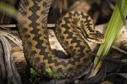 "CANTERBURY, ENGLAND - MARCH 11: A adder in its enclosure at the Wildwood Trust on March 11, 2021 in Canterbury, England. The Wildwood Trust charity near Canterbury in Kent, is home to around 1450 animals, across 82 species and specialises in native British species such as dormice, wildcats and red squirrels. The centre also cares for animals such as Bison, Wolves, Lynx and European Bears. Like many zoos and wildlife parks, Wildwood relies heavily on footfall, donations and memberships to sustain the cost of caring for the animals on site. In 2020 the site was closed for around 5 months. Keeping the animals fed costs around £11000 GBP a week alone not to mention staff and site maintenance. The conservation leg of the charity has been hit hard by the pandemic too, with funds for vital conservation projects including bringing dormice, wildcats and red squirrels back from the brink of extinction, shrinking massively. Many of the planned reintroductions were postponed in 2020. Last June the Department for the Environment, Food and Rural Affairs (Defra) opened up a £100m GBP fund aimed at supporting zoos and aquariums struggling with the impact of coronavirus, with the caveat that they needed to be down to (initially) just six weeks of reserves in order to be eligible for support. That was later extended to 12 weeks. The British and Irish Association of Zoos and Aquariums (BIAZA) has since called on the government to remove the ""prohibitive barriers"" to the government funding proposals, and as of late 2020, only 12 applications were received. Wildwood Kent has not been eligible to apply for the funds leaving its future in the balance. Wildwood hopes to reopen to the public on 12 April when covid restrictions across the UK are lifted. (Photo by Dan Kitwood/Getty Images)"