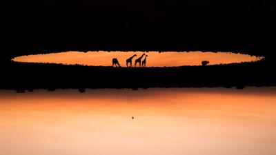 La foto de jirafas que está al revés