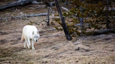 Por qué era tan especial la única loba blanca de Yellowstone que mataron a tiros